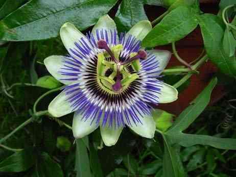 1322939514_passiflora-foto (462x347, 16Kb)
