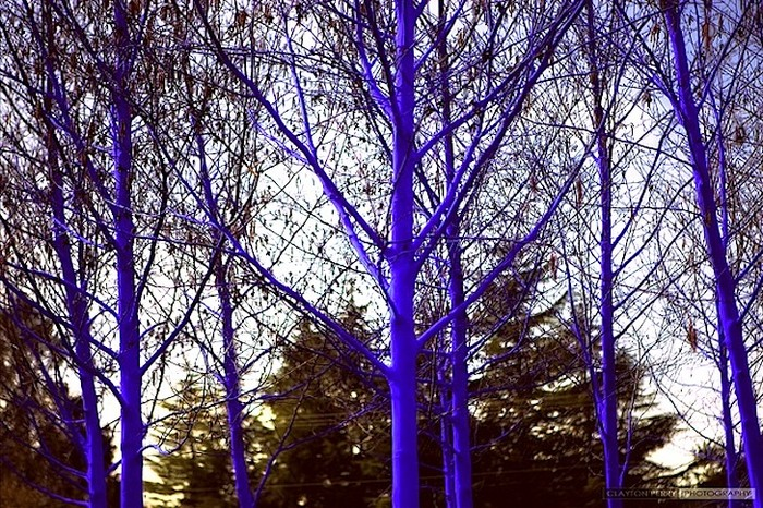 Blue-Trees-1 (700x466, 198Kb)
