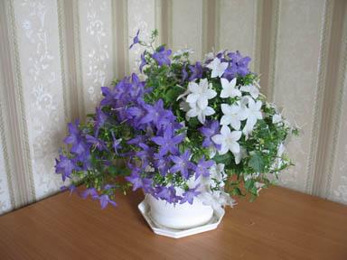 Кампанула купить в перми комнатные цветы живые цветы в подарочных горшках