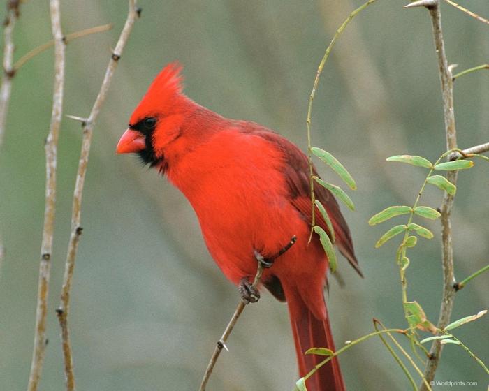 cardinal1 (700x560, 274Kb)