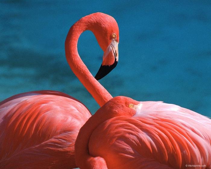 flamingo3 (700x560, 277Kb)