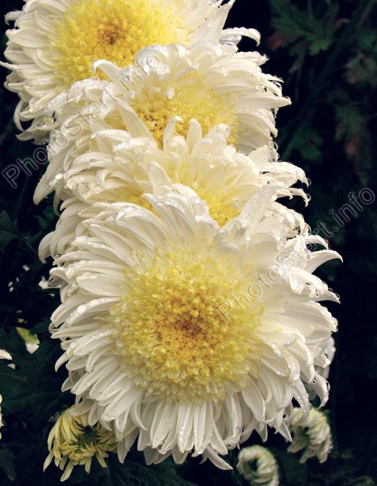 гроздь хризантем (542x700, 482Kb)