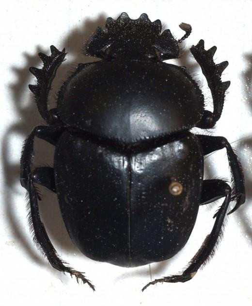 жук-скарабей (520x630, 67Kb)