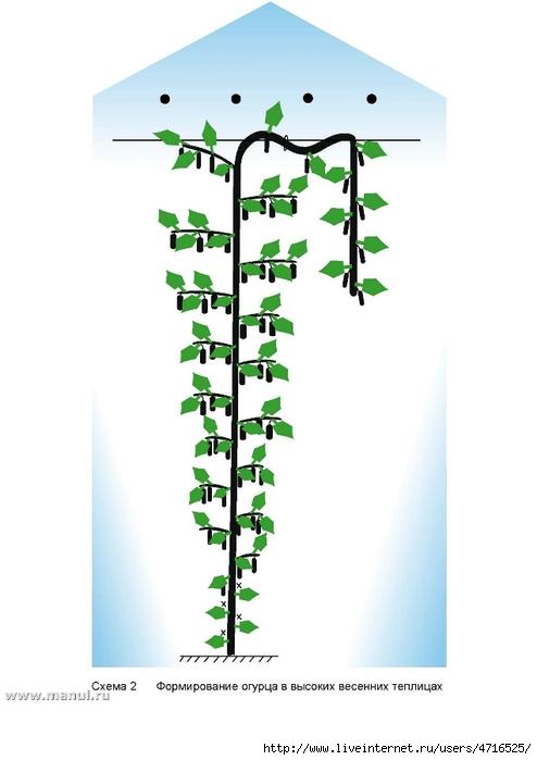 формирование огурца в высоких теплицах (494x700, 121Kb)