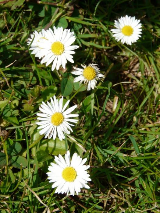 3821971_daisycluster (525x700, 321Kb)