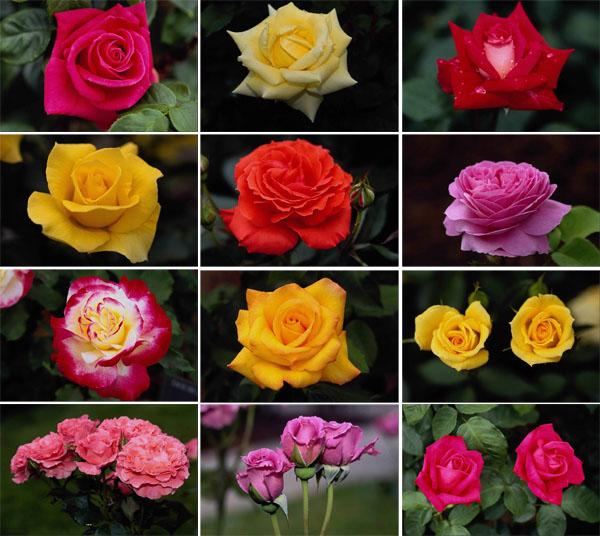 Царственная садовая красавица +