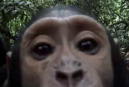 Любопытная обезьянка нашла скрытую камеру/3518263_mini (527x357, 23Kb)