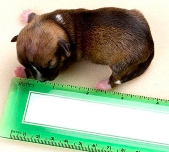 самый маленький щенок  (556x500, 130Kb)