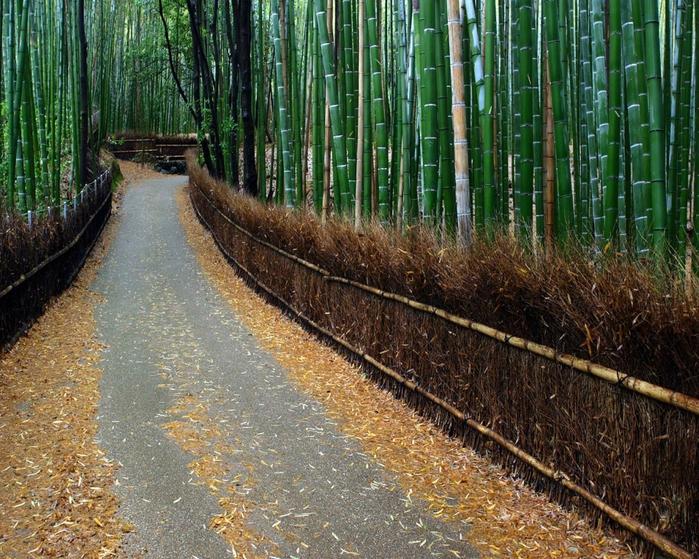 бамбуковая роща фото (700x559, 402Kb)
