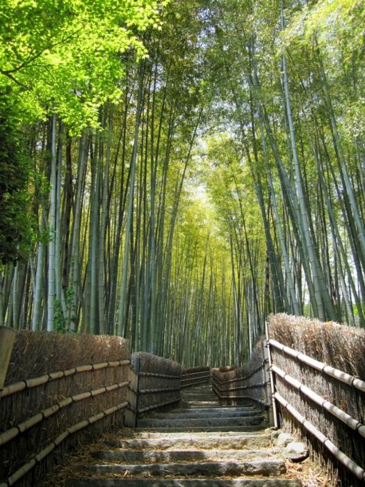 бамбуковая роща фото 3 (525x700, 372Kb)