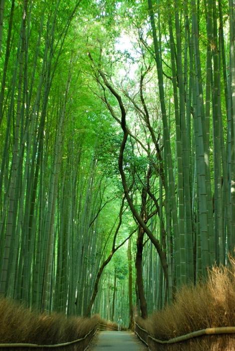 бамбуковая роща фото 5 (469x700, 324Kb)