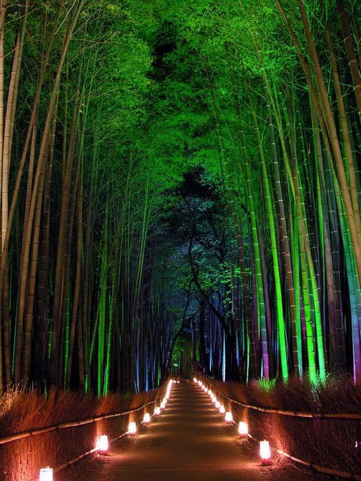 бамбуковая роща фото 7 (525x700, 178Kb)