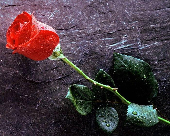 одинокая роза (700x560, 138Kb)