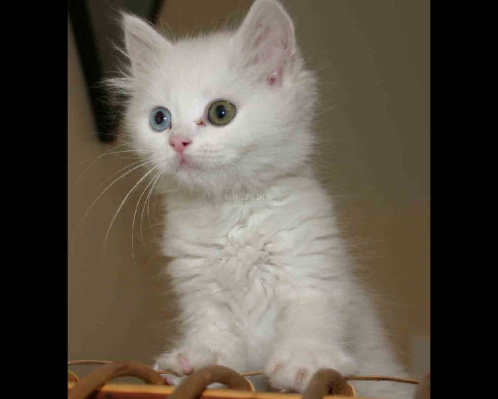 White-Cats-Screensaver_1 (700x560, 165Kb)