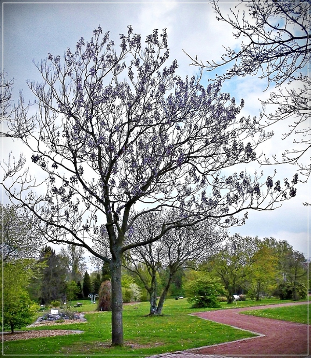 Дерево адамово, или павловния в Дюссельдорфе