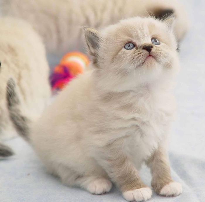 ragamuffin_cats-kitten_1 (700x689, 74Kb)