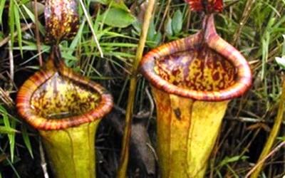 rastenie-pitayushcheesya-krysami (400x250, 38Kb)
