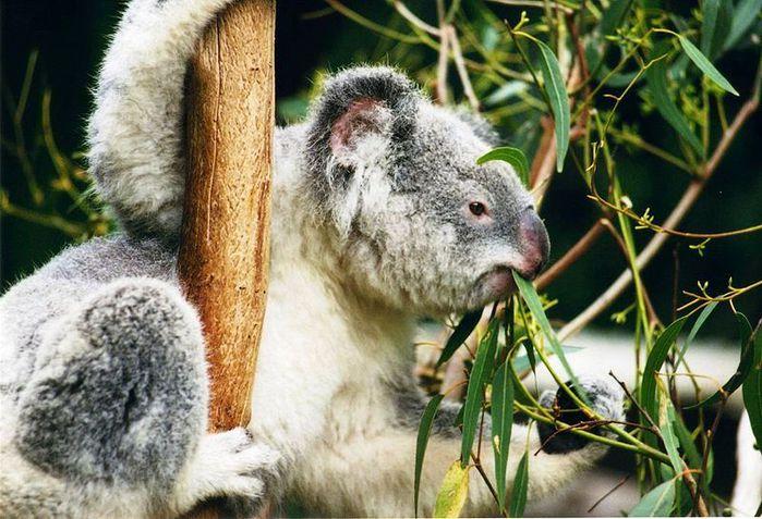 800px-Koala-ag1 (800x546, 105Kb)