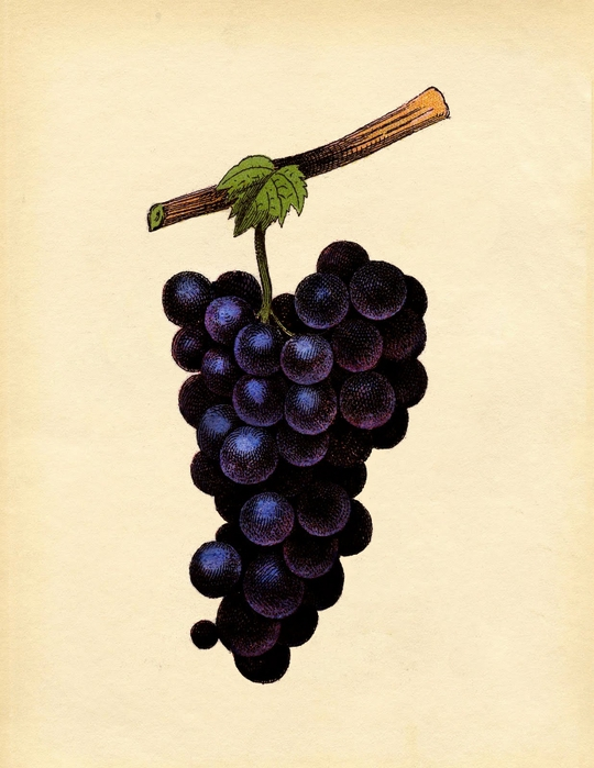 grapes-purple-graphicsfairysm (540x700, 241Kb)