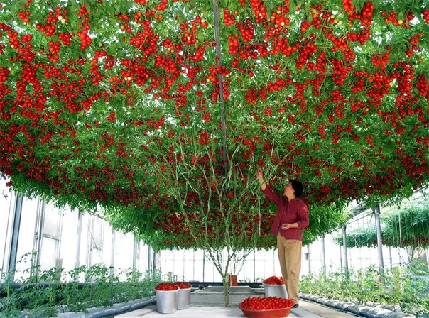 Помидорное дерево (604x448, 130Kb)