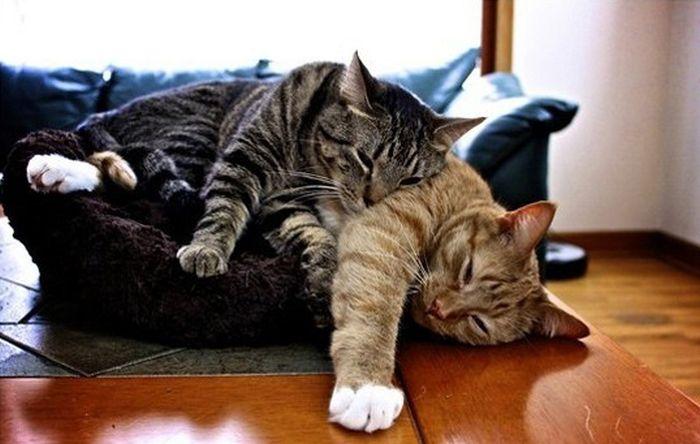 sleeping_cats_17 (700x444, 50Kb)