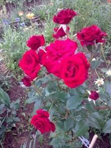роза нак севере (225x300, 32Kb)