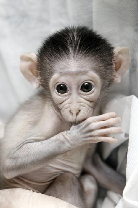 смешная обезьянка фото 5 (466x700, 254Kb)