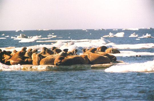 ядовитые север море лаптевых фото народном