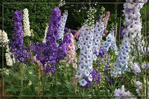 Дельфиниум – многолетнее растение с чудесными цветками!