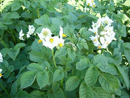 Solanum_tuberosum_K (500x375, 59Kb)