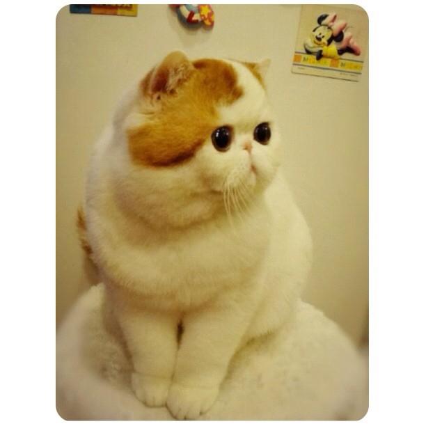 Этот удивительный и очаровательный кот живет в японии и носит имя снупи (snoopy)