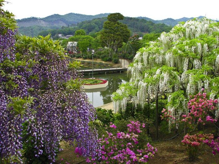 парк цветов глицинии фото (700x525, 157Kb)