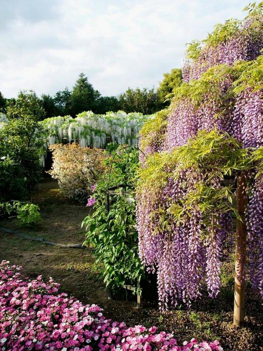 парк цветов глицинии фото 1 (525x700, 552Kb)