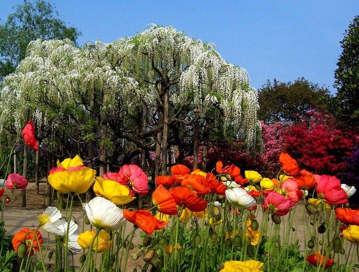 парк цветов глицинии фото 4 (700x530, 150Kb)