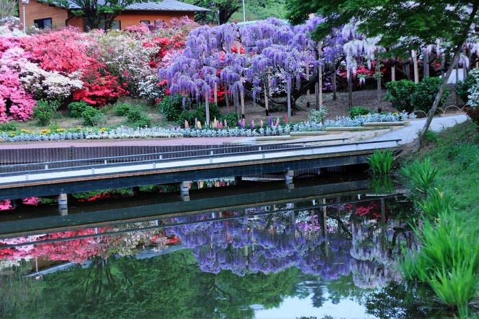 парк цветов глицинии фото 6 (700x466, 133Kb)