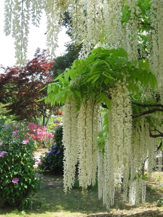 парк цветов глицинии фото 8 (525x700, 522Kb)