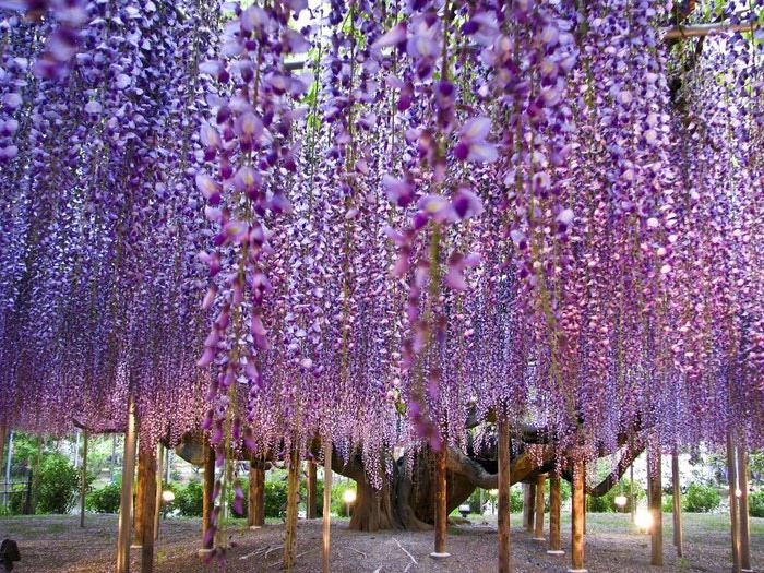 парк цветов глицинии фото 10 (700x525, 185Kb)