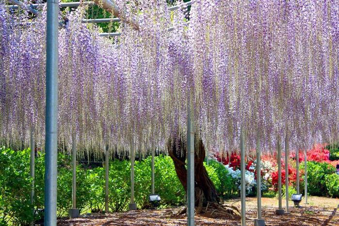 парк цветов глицинии фото 13 (700x466, 165Kb)