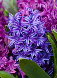 hyacinthus3 (200x275, 28Kb)