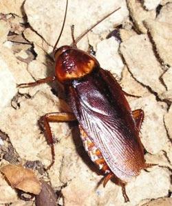 Американский таракан (250x300, 26Kb)