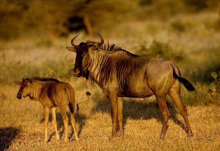 Антилопы гну (600x450, 66Kb)