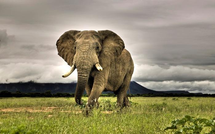 африканский слон (600x450, 99Kb)