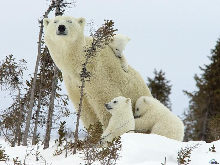 Белый медведь (600x450, 109Kb)