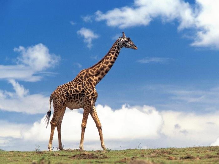 жираф (600x450, 82Kb)