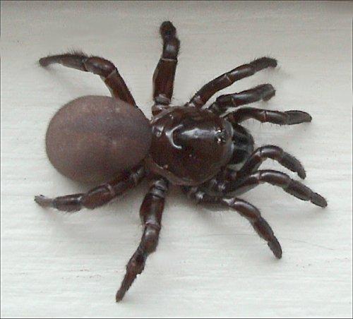 Люковый паук (500x452, 246Kb)