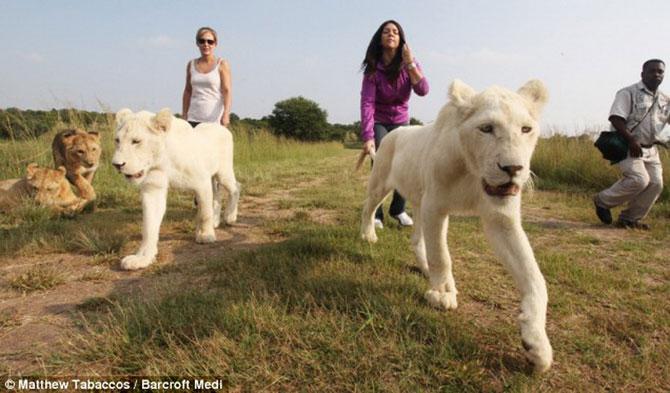 белые львы фото 2 (670x393, 66Kb)