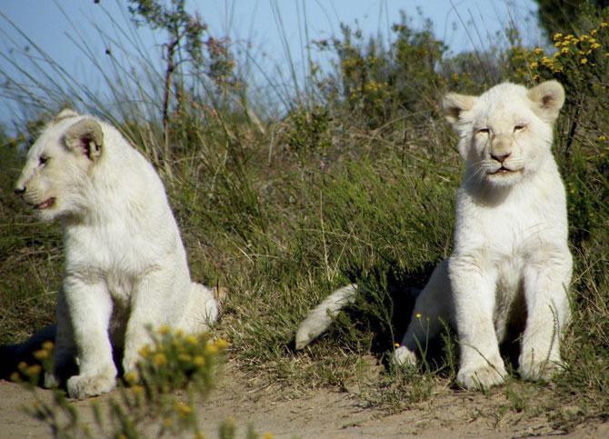 белые львы фото 3 (670x483, 99Kb)