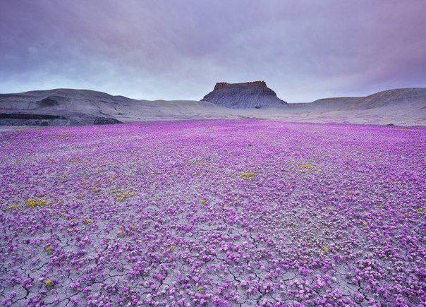 Цветение агавы в пустыне Анза Боррего, Калифорния, США (604x435, 82Kb)