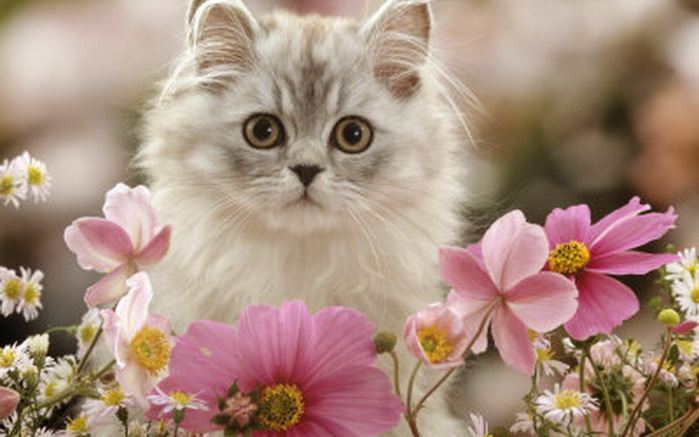 Cute-Kitten-kittens-16122868-1280-800 (700x437, 83Kb)