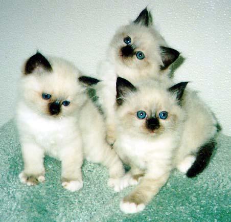 kittens-464 (452x434, 33Kb)